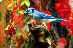 Blue jay by Virginia creeper in fall