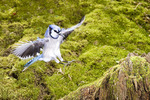 Blue jay flying and landing