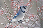 Blue jay calling in icy multiflora