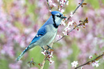 Blue jay in spring blossoms