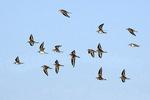 Killdeer flock flying