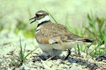 Killdeer at nest