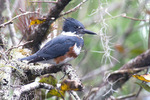 belted kingfisher perching