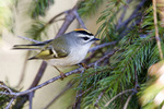 Golden-crowned kinglet male