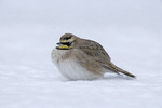 horned lark in winter