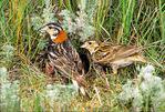 chestnut-collared longspur nest