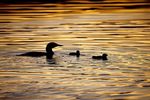 common loon with young