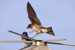 Purple martin lands on nestbox
