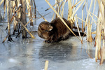 Mink on ice and snow