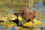 mink along stream
