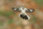Mockingbird flying
