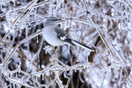 mockingbird in winter ice