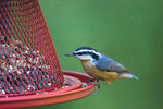 Red-breasted nuthatch on feeder