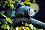 Opossum and moon