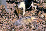 Oposssum playing dead