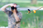 Baltimore oriole and photographer