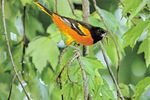 Baltimore oriole with caterpillars