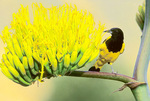 Scott's oriole by agave flowers