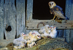 Barn owl nest
