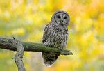Barred owl in fall