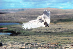 snowy owl with eider carcass