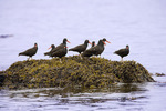 black oystercatcher flock