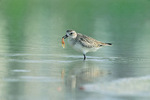 black-bellied plover with food