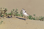 snowy plover - summer male