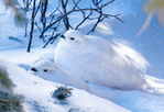 Whtie-tailed ptarmigan in winter