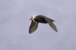 tufted puffin flying