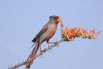 Pyrrhuloxia eats ocotillo blossom