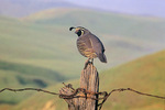 California quail on fencepost