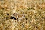 Eastern cottontail rabbit running