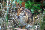 swamp rabbit eating