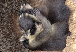 raccoon cubs napping