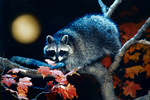 Raccoon at moonrise