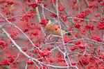 American robin by berries