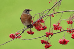 American robin eats berries