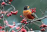 American robin eats berries