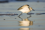 Sanderling ready to fly