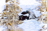 striped skunk in winter