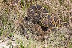 Eastern diamondback rattlesnake coiled