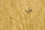 Henslow's sparrow in broomsedge field