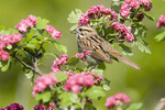 Song sparrow in spring flowers