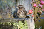 Song sparrow in garden