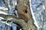 fox squirrel on trunk in snow