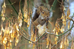 gray squirrel eats maple seeds