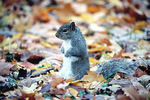 Gray squirrel on ground
