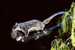 flying squirrel carrying young