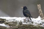 European starling in winter